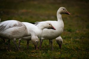 Lawnmowing geese by Spirit-whales