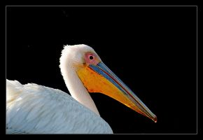 White Pelican by invisiblewl
