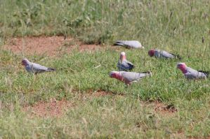 Pink Galahs by Iluvbiscuit2