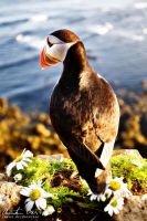 Puffin in Iceland 1 by Nightline