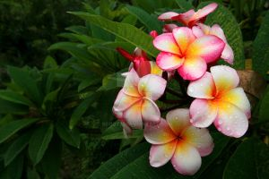 PINK FRANGIPANI by scoot75