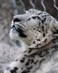 Belated International Snow Leopard Day 2 by robbobert