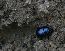 black dung beetle on sand - stock image by Nexu4