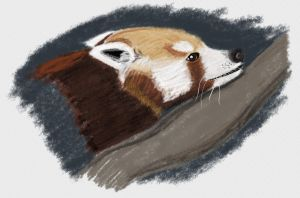 30 Min. Speed Paint Red Panda by Songwind