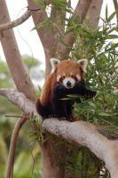 red panda 7 by Chunga-Stock