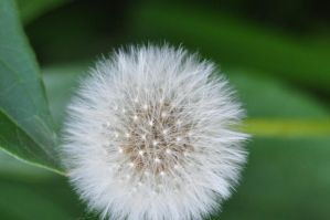 dandelion and seeds 1 by xim0nfir3x