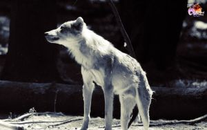 Free Wolves 4 by pixbird