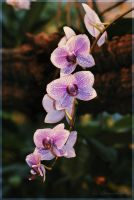 Orchid by Amrahelle