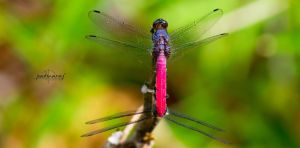dragonFLY by Fotograpfie