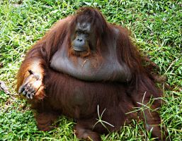Orangutan begging for food by a6-k