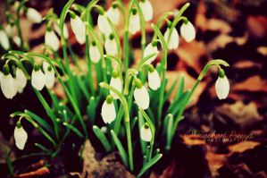Snowdrops by this-is-the-life2905