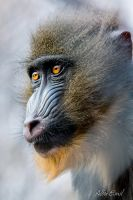 Mandrill Portrait by albuemil
