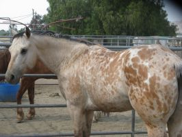 Buckskin Horse STOCK by Love-Peace-Beauty2