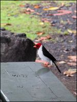 Yellow-billed Cardinal by StormPetral0509