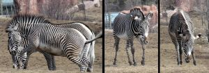 Animals - Zebra 2 by MoonsongStock