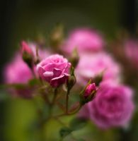 Pink Roses by salman-khan