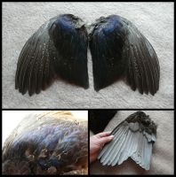 Melanistic Common Pheasant Wings by CabinetCuriosities