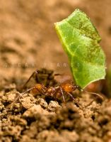 Leafcutter Ant by otas32