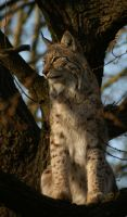 lynx in tree by Malmborg