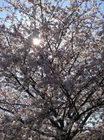 Spring Blossoms by ScenePika