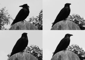 Crow Stock by witchfinder-stock