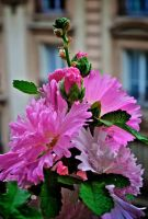 Pink summer by Yousry-Aref