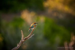 Young Bee Eater by isischneider