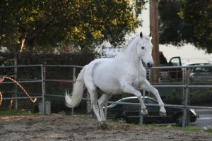 white horse stock 6 by Aestivall-Stock