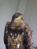Young Bald Eagle by Malakhite