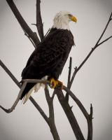 Bald Eagle by lclaywares