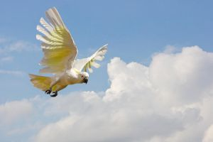 Sulphur Crested Cockatoo 121 by chezem