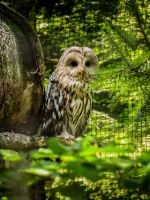 92. ural owl by littleconfusion