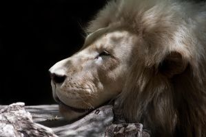 A Lions Portrait by ralfkaiser