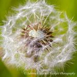 Dandelion Seeds by Hitomii