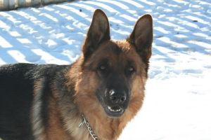 German Shepherd Stock 010 by EssenceOfPerception