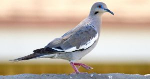 dove by syadalymam