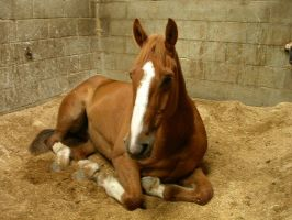 chestnut laying down by equusstock