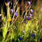 Violet Grass by MarcoHeisler