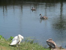 Swans and Cygnets 3 by Skargill