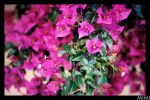 Fucsia Flowers by MiMi-MosH