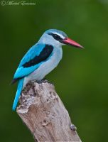 Woodlands Kingfisher by MorkelErasmus