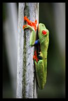 The Red Eyed Frog by Fractal-Flux