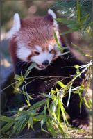 Red Panda 37-029 by lomoboy