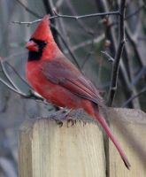 Male Cardinal by BirdyLee