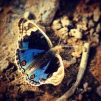 Peacock Flutterby on a Dune by Freephunkateer