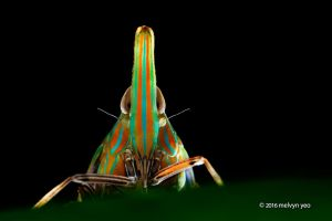 Long-nosed Dictyopharid Planthopper by melvynyeo