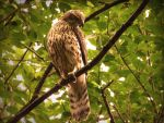 goshawk by aapsis