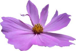 Pink Cosmos PNG by Thy-Darkest-Hour