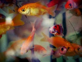 Goldfishes by tangerinesoda