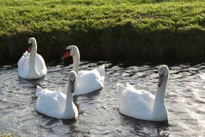 quartet swans 1 by priesteres-stock